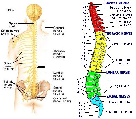 Image result for spinal nerves