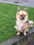 Dog for stud chihuahua 150 eu 0857070250