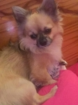 Chihuahua dog for stud €100 0852451717