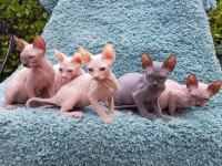 Sphynx Kittens 5 Generation Pedigree GCCF