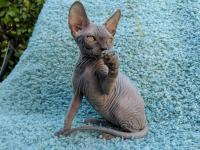 Sphynx Kittens 5 Generation Pedigree GCCF