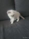 Ragdoll kačiukai